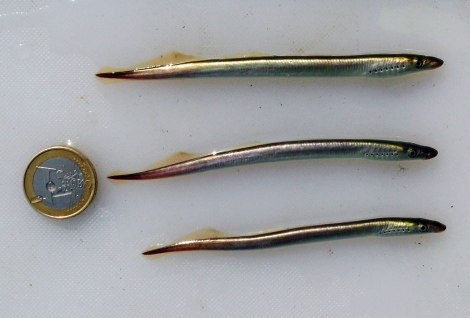 River Lampreys (microphthalmia stage)