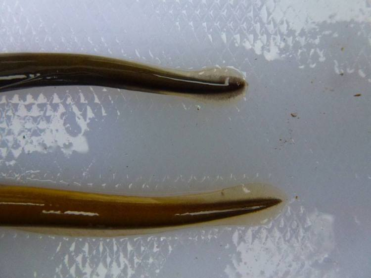 Plate 3 These two individuals are Lampetra spp ammocoetes, despite the top individual exhibiting sea lamprey type caudal pigmentation