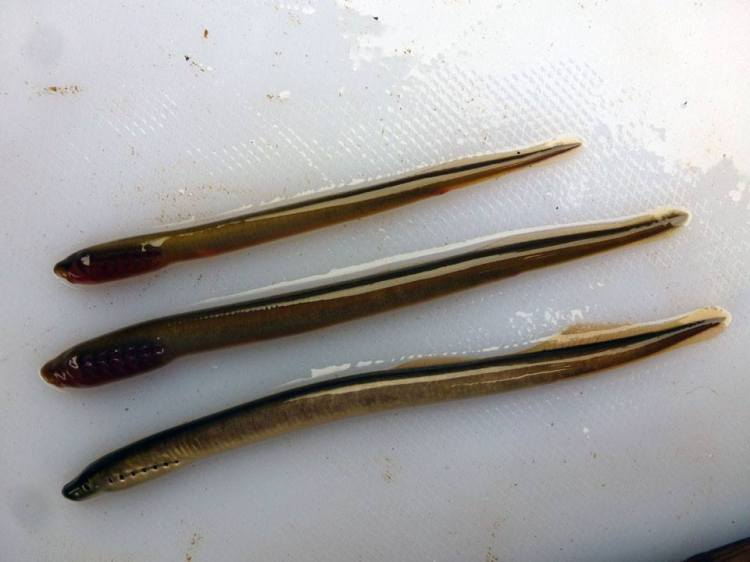 Plate 2 The top specimen in the this photo is a juvenile brook / river lamprey ammocoete (Lampetra sp.). The middle specimen is a sea lamprey Petromyzon marinus ammocoete. The bottom individual is probably a river lamprey Lampetra fluviatilis transformer.