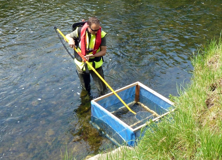 Juvenile lamprey survey: River Maigue, Co Limerick
