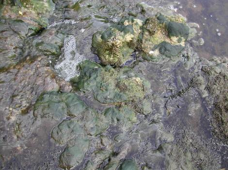 Excessive filamentous algae growth as a result of eutrophication processes on the lower River Boyne