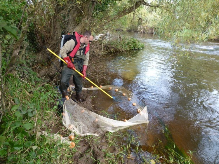 Electrofishing survey for juvenile lamprey - River Mulkear, Co Limerick