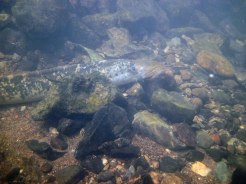 Sea lampreys spawning on the River Mulkear