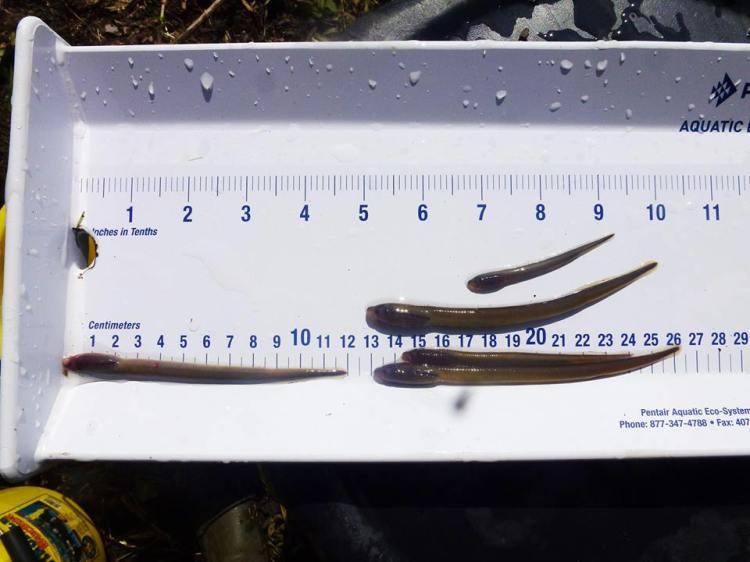 Brook lampreys spend most of their life burrowed in silt and mud and many people (including OPW and IFI staff)   do not even know they are there.