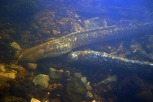 Sea lamprey spawning (5)